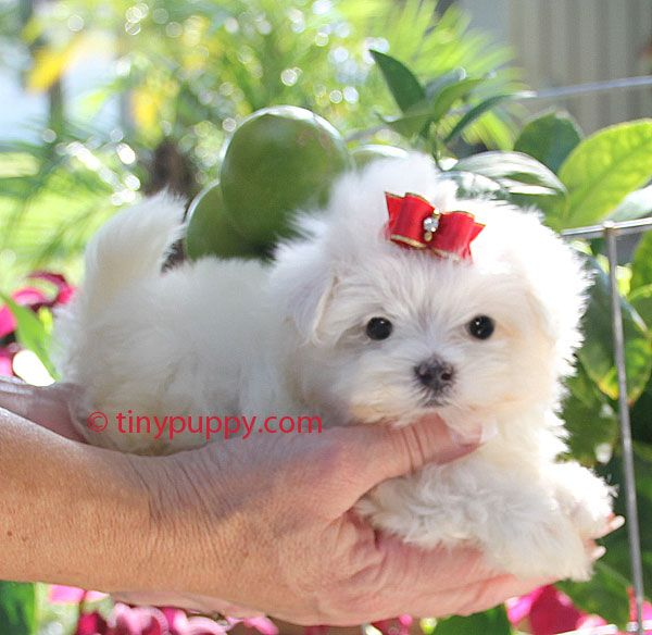 Teacup Maltese Puppies For Sale Teacup Puppies Maltese Maltese