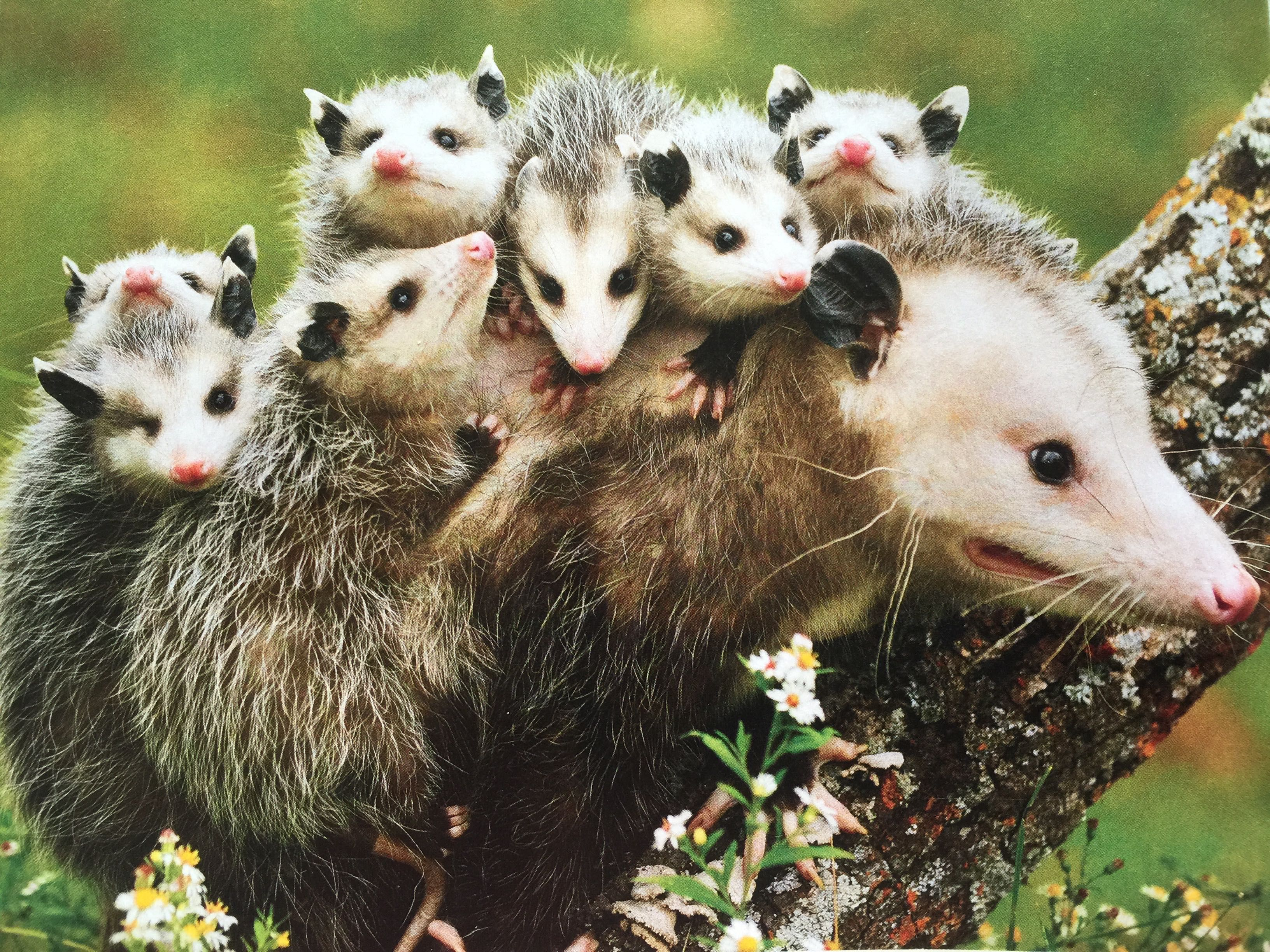 Images For > Opossum Babies On Back Животные