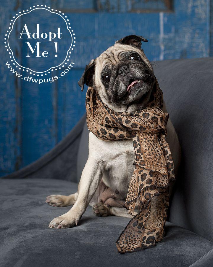 Dallas Dog Photographer Pugs Dogs Pug Photos