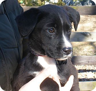 Minnetonka Mn Border Collie Boxer Mix Meet Bumblebee A Puppy For Adoption Puppy Adoption Boxer Mix Boxer Dogs