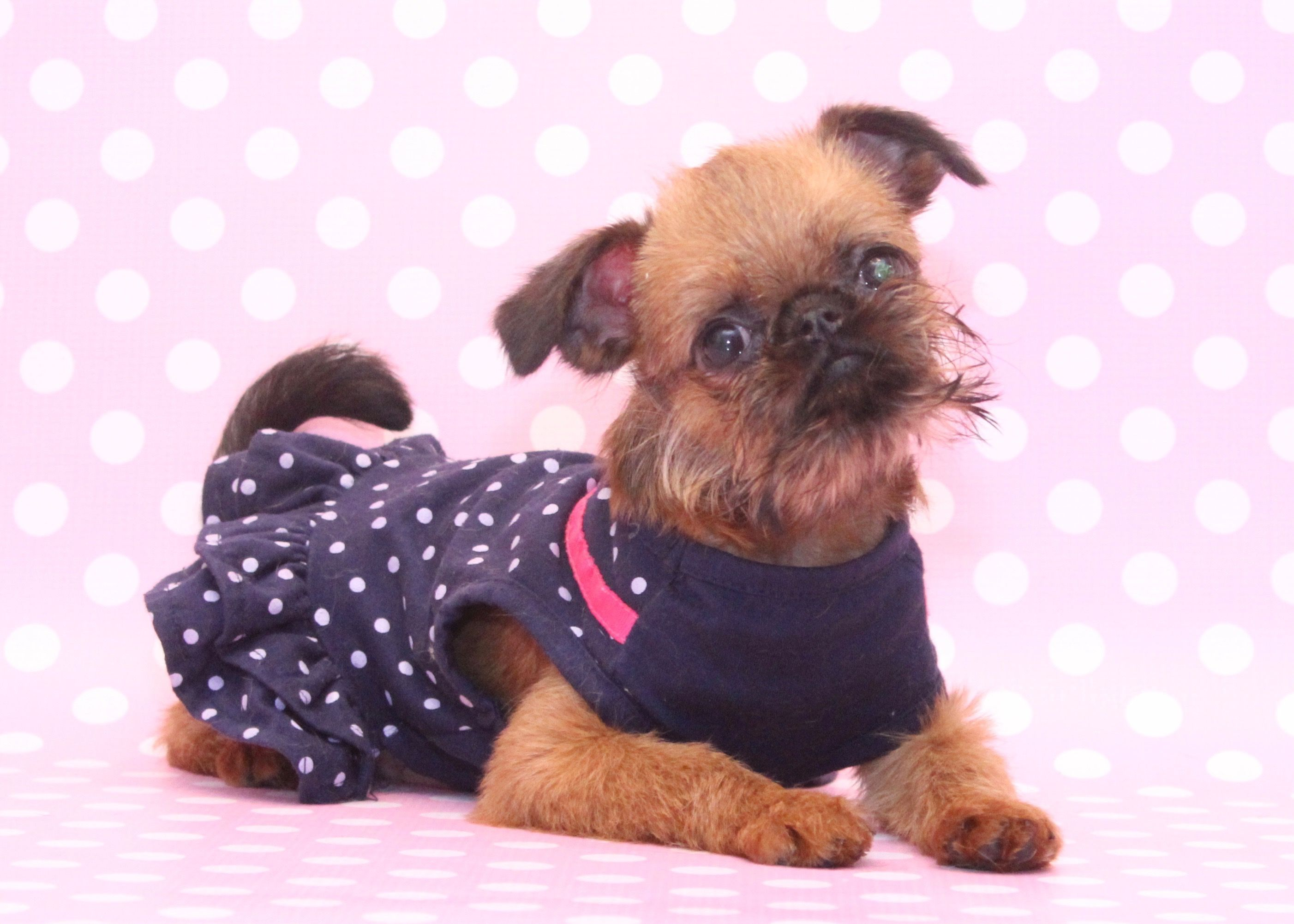 Brussels Griffon Cute puppies, Puppies, Cute dogs