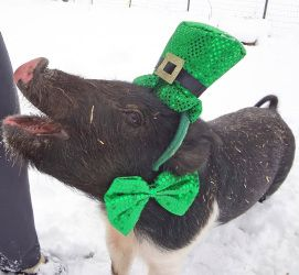 Buster is an adoptable Pig (Farm) Pig (Farm) in Methuen ...