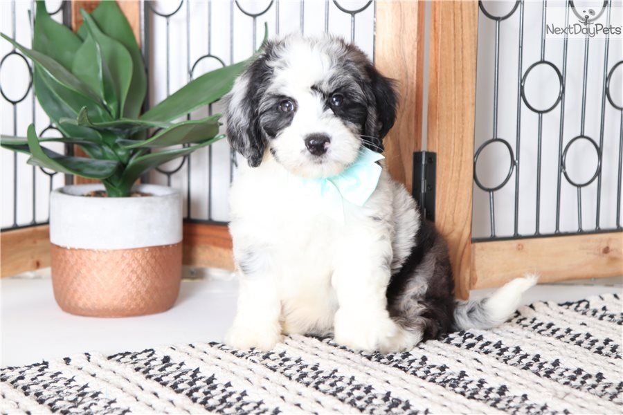 Bernedoodle Puppy For Sale Near Ft Myers Sw Florida Florida