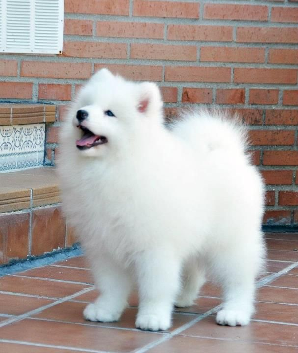 Fantastic Samoyed Chubby Adorable Dog - a911bd6095812c86dbe18360cbd0e9d5  Image_386073  .jpg