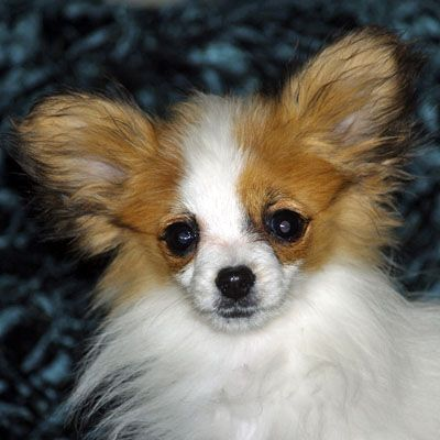 Growth Of Papillon Playtyme Papillons Of Distinction Akc