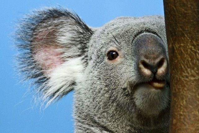Koala | Flickr - Photo Sharing!