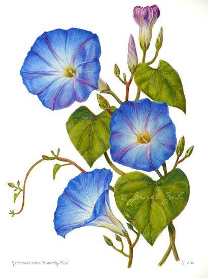Blue Morning Glories Flower Botanical Floral Painting Ipomoea Tricolor Botanical Floral Art Blue Morning Glory Flower Art