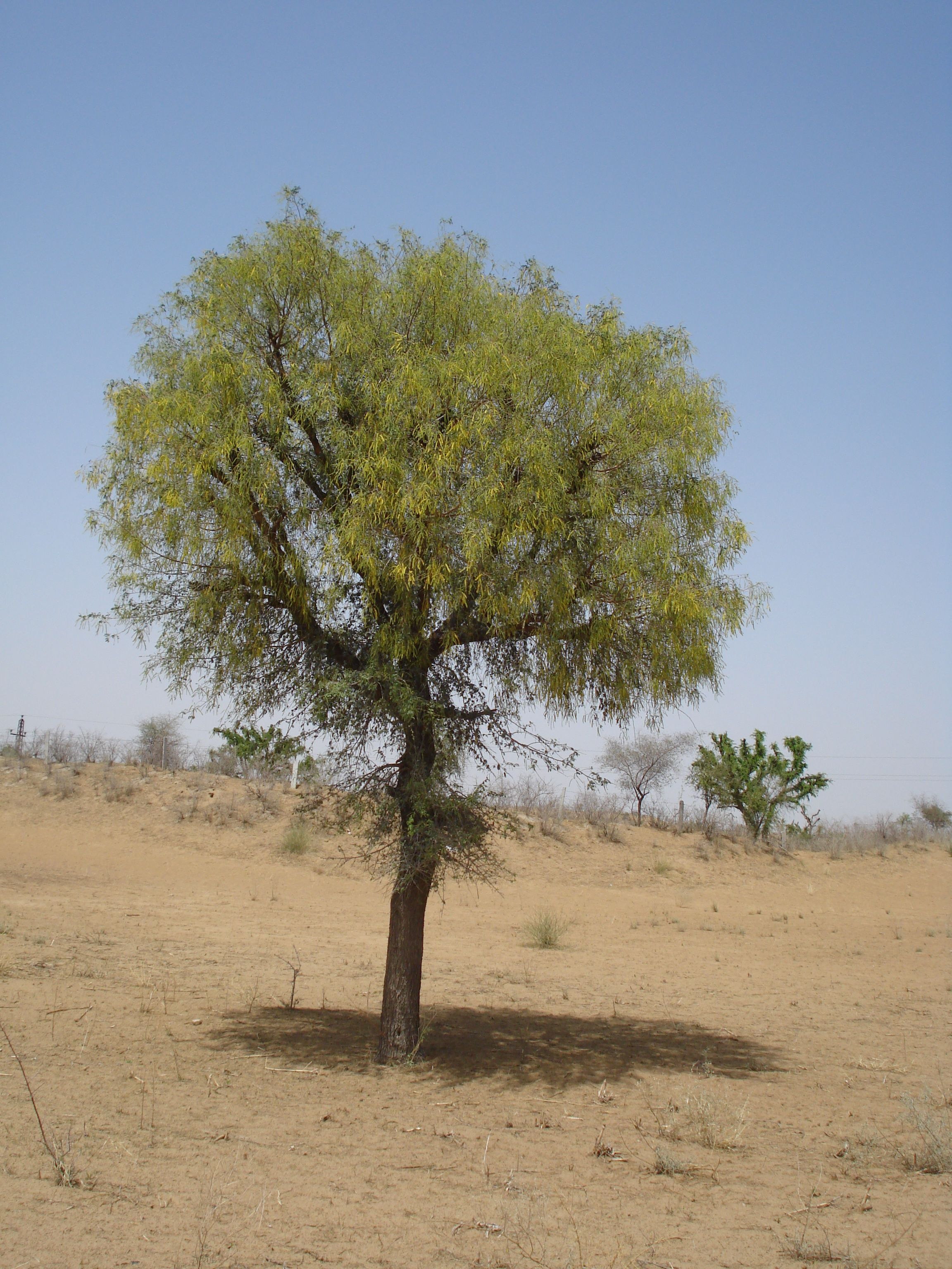 Prosopis cineraria is the national tree of the uae trees prosopis cineraria is the national tree of the uae biocorpaavc Images