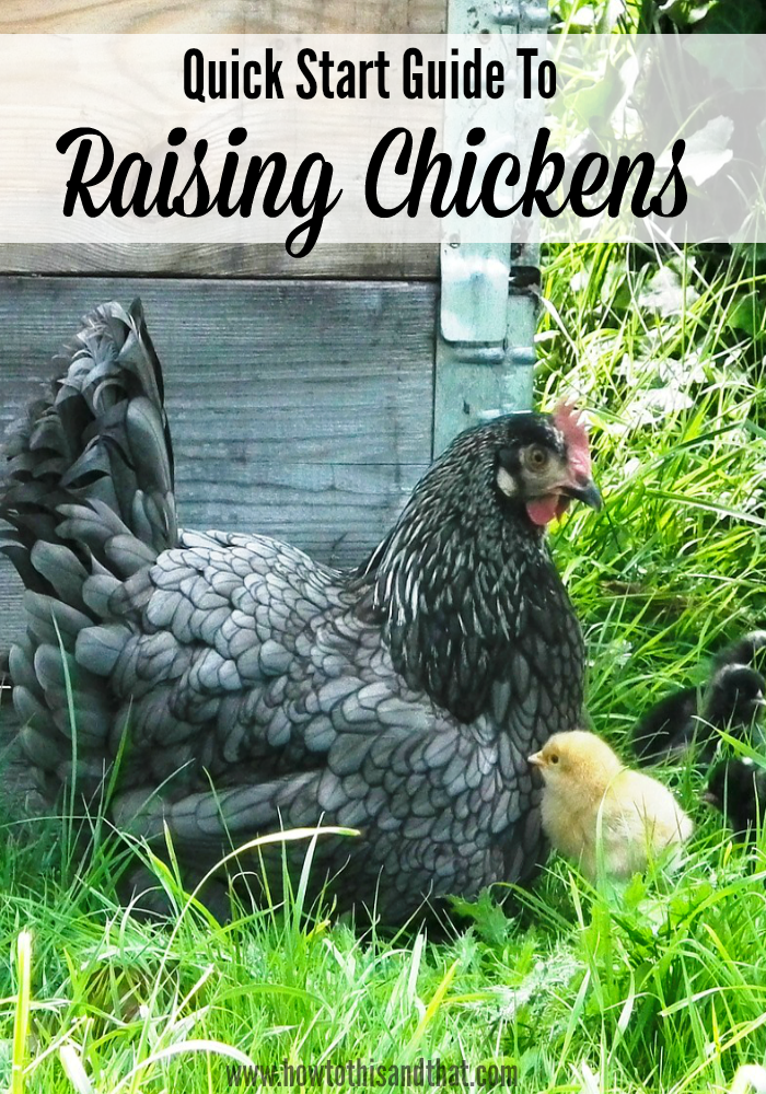 Ever thought about raising backyard chickens ? This quick start guide is a  great help! Chicken coop, chicken feed, water and more info - Ever Thought About Raising Backyard Chickens ? This Quick Start