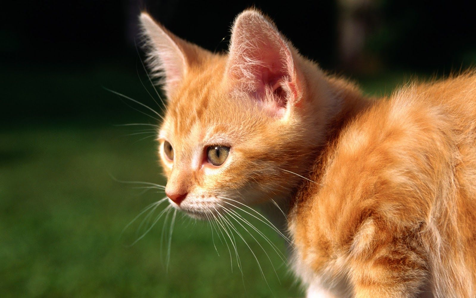 Free Hd Wallpapers Cat Wallpaper Baby Cats The Picture Kitty Kitten Cute Wicked Squirrel