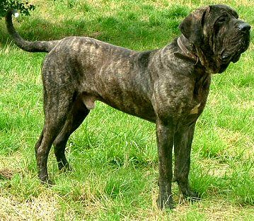 Pictures Of Brazilian Fila Dogs