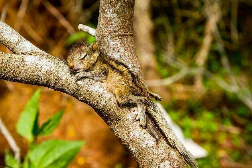 Palm squirrel napping