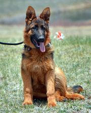 German Shepherd Puppies For Sale In Colorado Shepherd Puppies