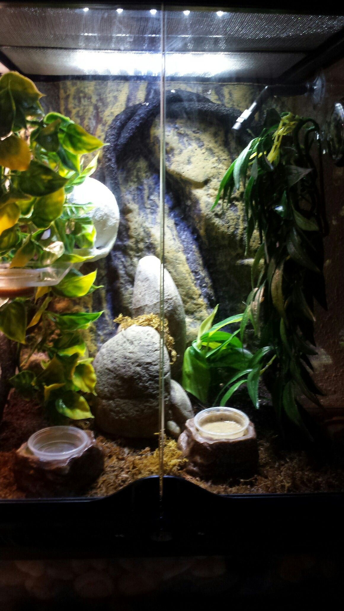 crested gecko habitat repti pinterest crested gecko geckos and reptiles. Black Bedroom Furniture Sets. Home Design Ideas