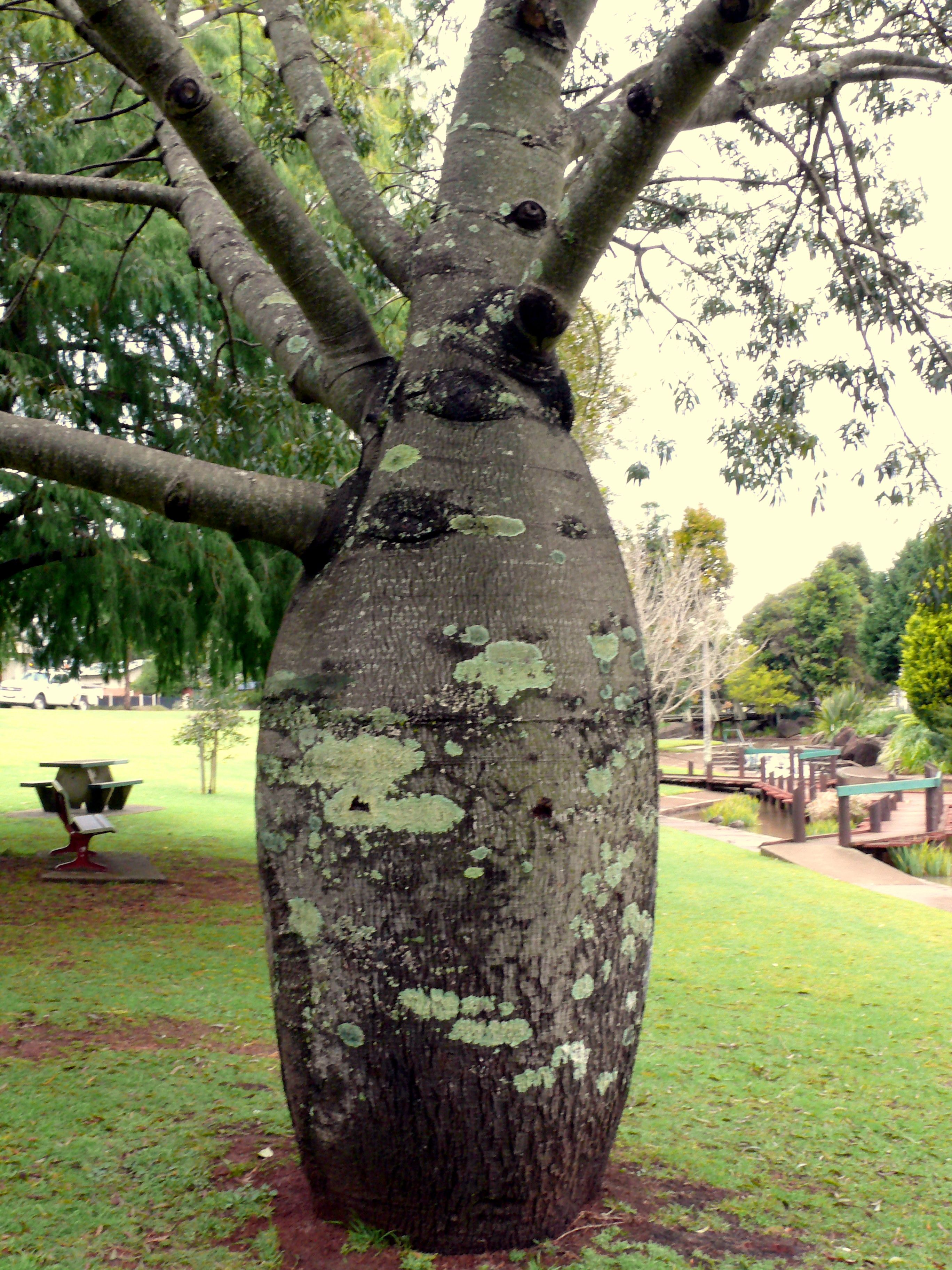 Baobab Tree Toowoomba Qld Australia Photo By Judith B Trimarchi Australia Photos Toowoomba Baobab Tree