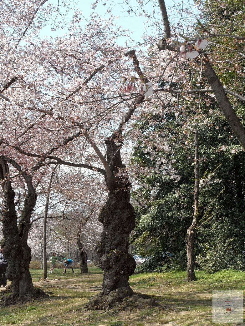 Funky Cherry Tree Trunk Cherry Tree Cherry Blossom Festival Tree