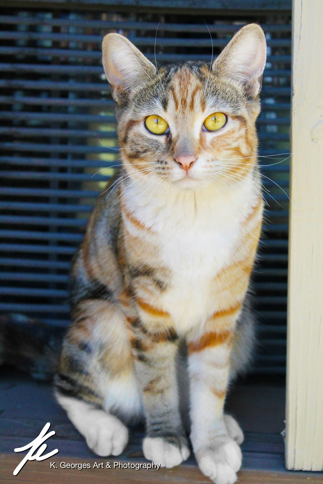 Yellow eyed marbled orange and grey tabby with lovely