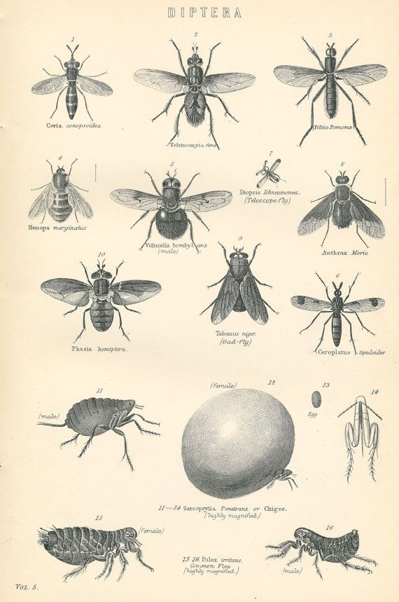 Antique blackdiptera blackwhite drawing flies and insects print by peonyandthistlepaper
