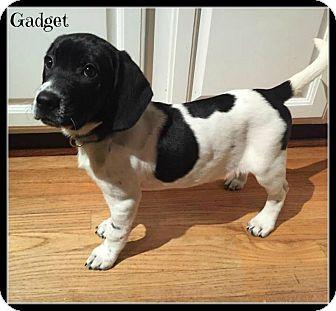 Elburn Il Corgi Basset Hound Mix Meet Gadget A Puppy For Adoption Puppy Adoption Basset Hound Mix Basset Hound Dog