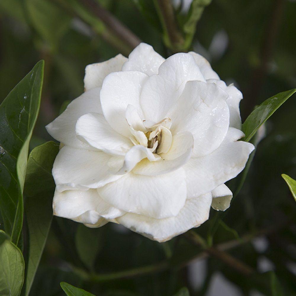 9 25 In Pot August Beauty Gardenia Live Evergreen Shrub White