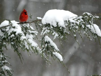 Cardinal on snow covered branch