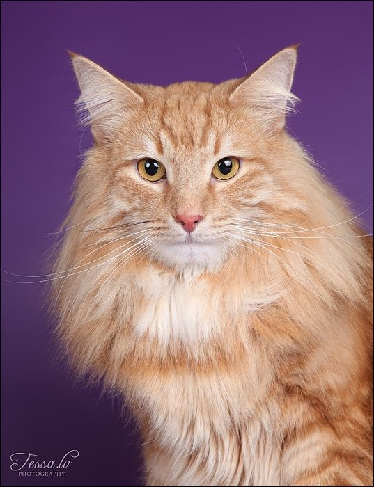 Norwegian Forest Cat His Face Looks Like My Kitties Chester Lucky Marbles Norwegian Forest Cat Norwegian Cat Crazy Cats