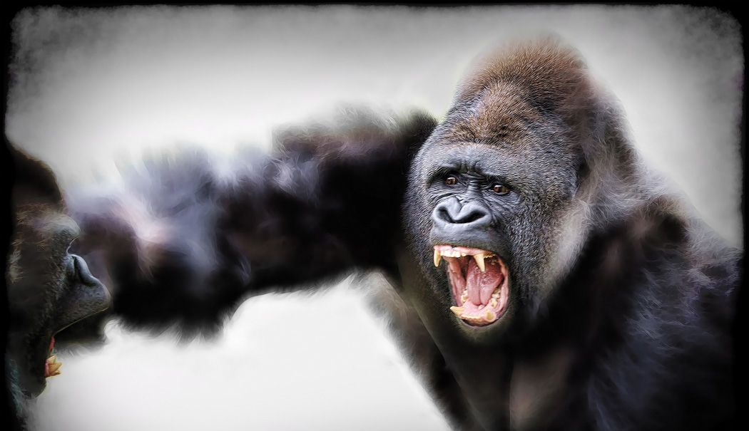 Silverback Gorillas Fighting by Marilyn Taylor ARPS ...
