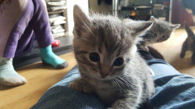 Grey Tabby Kittens For Sale In Kings Lynn Norfolk Preloved Grey Tabby Kittens Tabby Kittens For Sale Kitten For Sale