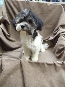 Havanese Puppy For Sale In Winston Salem Nc Adn 44425 On Puppyfinder Com Gender Male Age 15 We Havanese Puppies Havanese Puppies For Sale Puppies For Sale