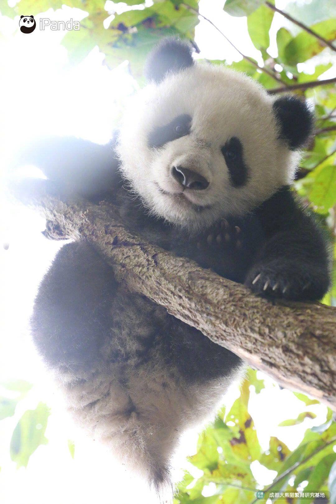 Pin By Anna Kurscheid On Pandas Panda Bear Panda Baby Panda Bears