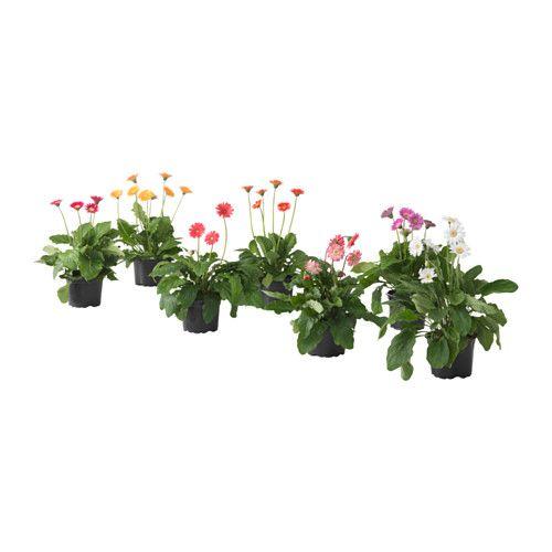 gerbera pflanze ikea gr npflanzen und bert pfe im pers nlichen stil beleben die einrichtung. Black Bedroom Furniture Sets. Home Design Ideas