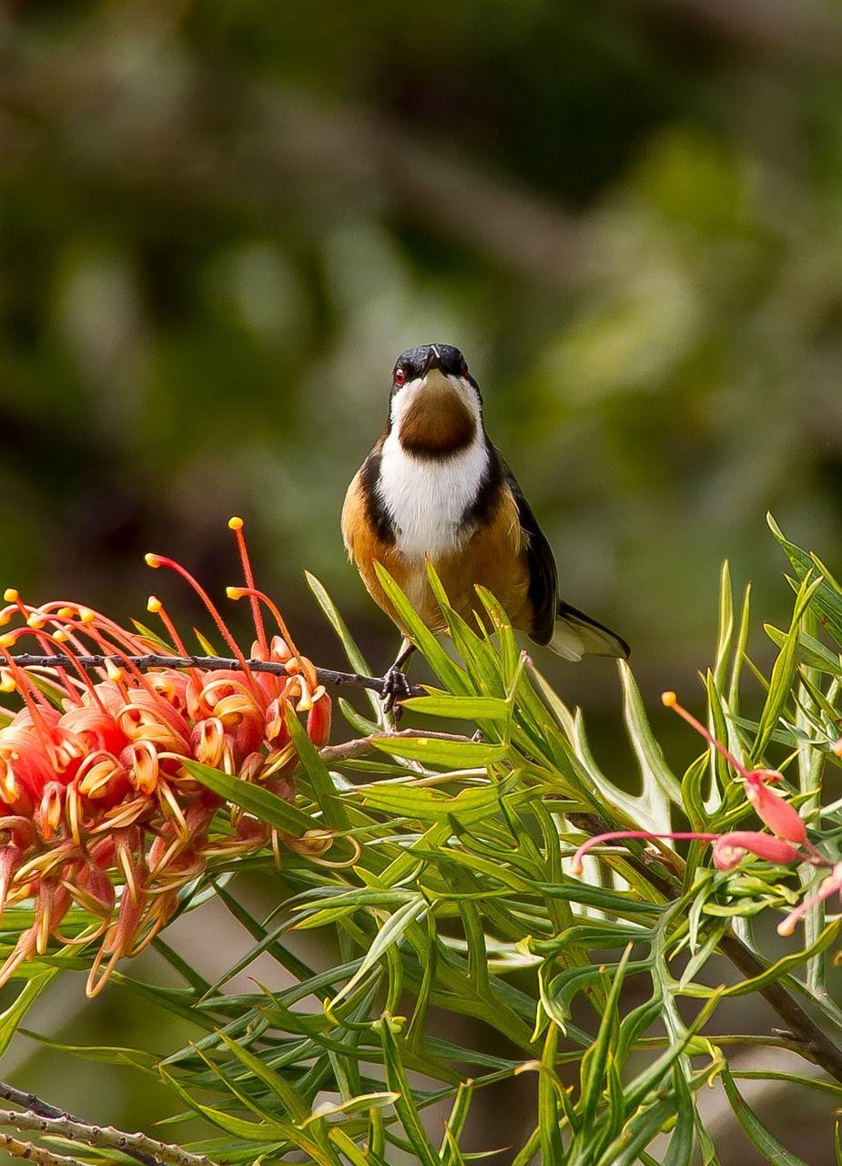 Australia, Eastern Spinebill, Spinebill australia,