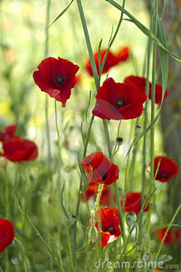 Poppies Flowers Poppy Flowers Mit Bildern Blumen Aquarell Flores