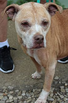 Pictures Of Maxine A American Pit Bull Terrier For Adoption In