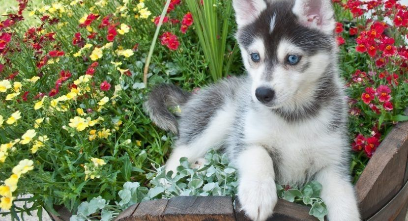 How much do pomskies cost other facts about pomeranian