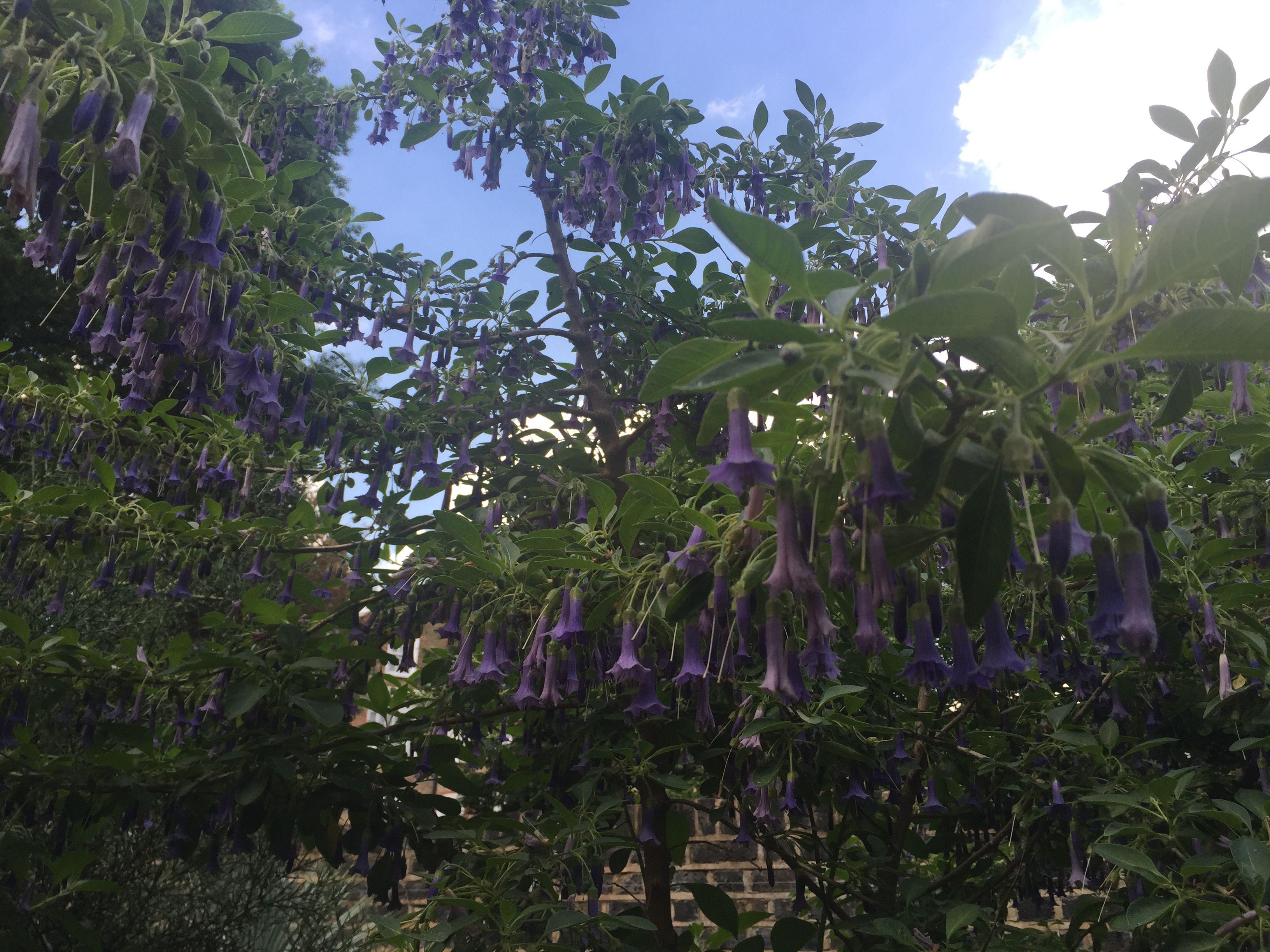 Chelsea physic gardens blue trumpet plants flowers trumpet