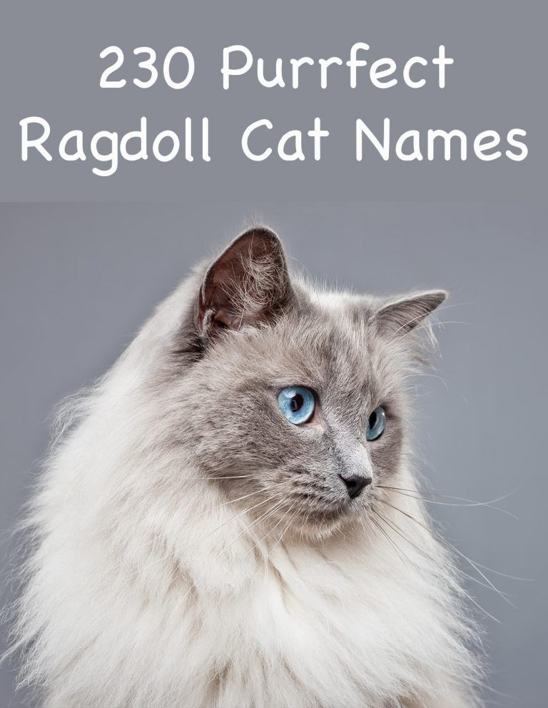 230 Ragdoll Cat Names - Great Ideas For Naming Your Ragdoll