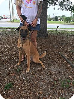 Cape Coral Fl Belgian Malinois Boxer Mix Meet Malcolm A Dog