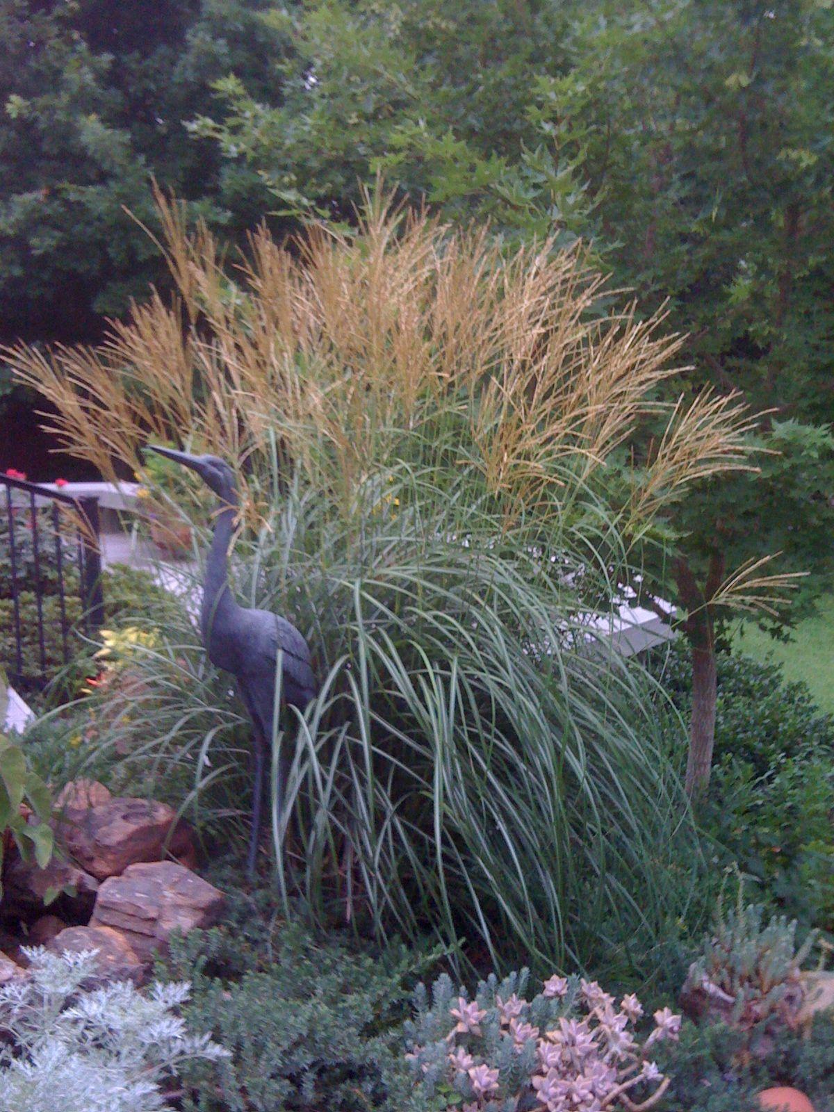 Miscanthus Sinensis Adagio Ornamental Grasses Garden Texas Gardening