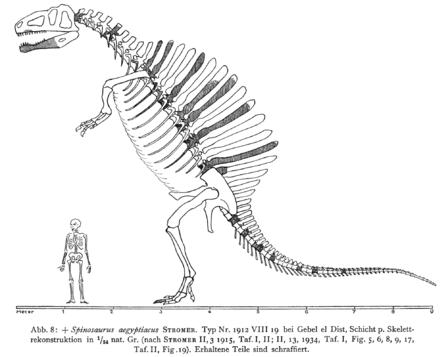 spinosaurus diagram  dinosaurs