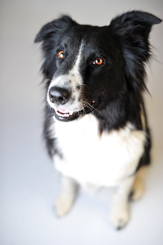 Dog Gorgeous Picture Dogs Border Collie Collie
