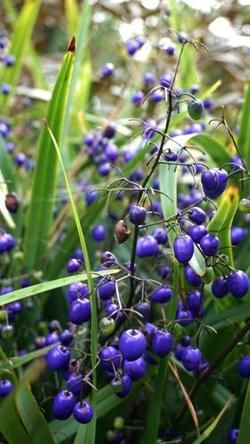 Dianella tasmanica, commonly Known as the Tasman Flax-lily or Tasmanian Flax-lily is a herbaceous strappy perennial herb of the family Xanthorrhoeaceae,
