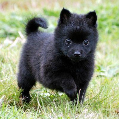 Adorable Black Schipperke Puppy Hunderassen Zwergspitz