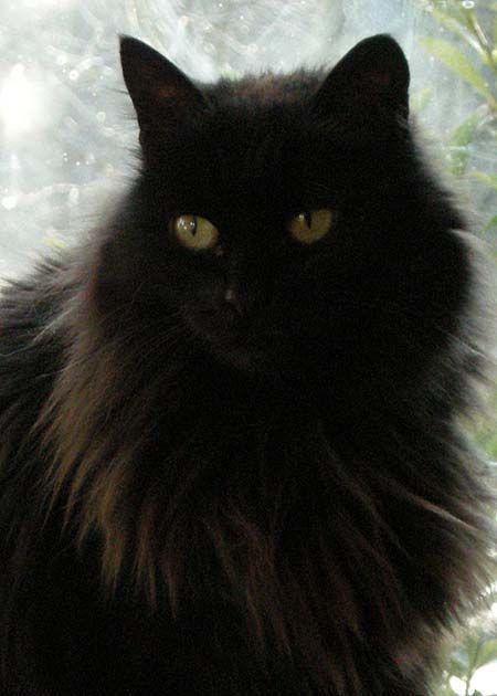 Pin By Nikki Lorenzo On Pets Fluffy Black Cat Cats Pretty Cats
