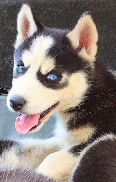 Look At Its Eyeballs Husky Puppy Siberian Husky Puppy