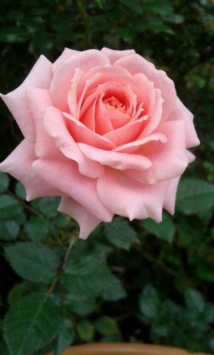 Pink Rose Cameron Highland Rose Flower Beautiful Rose Flowers Love Flowers