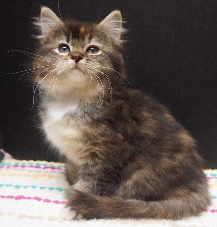 Tortie Ragdoll Cutest Kitten Breeds Kittens Cutest Cute Kitten Pics