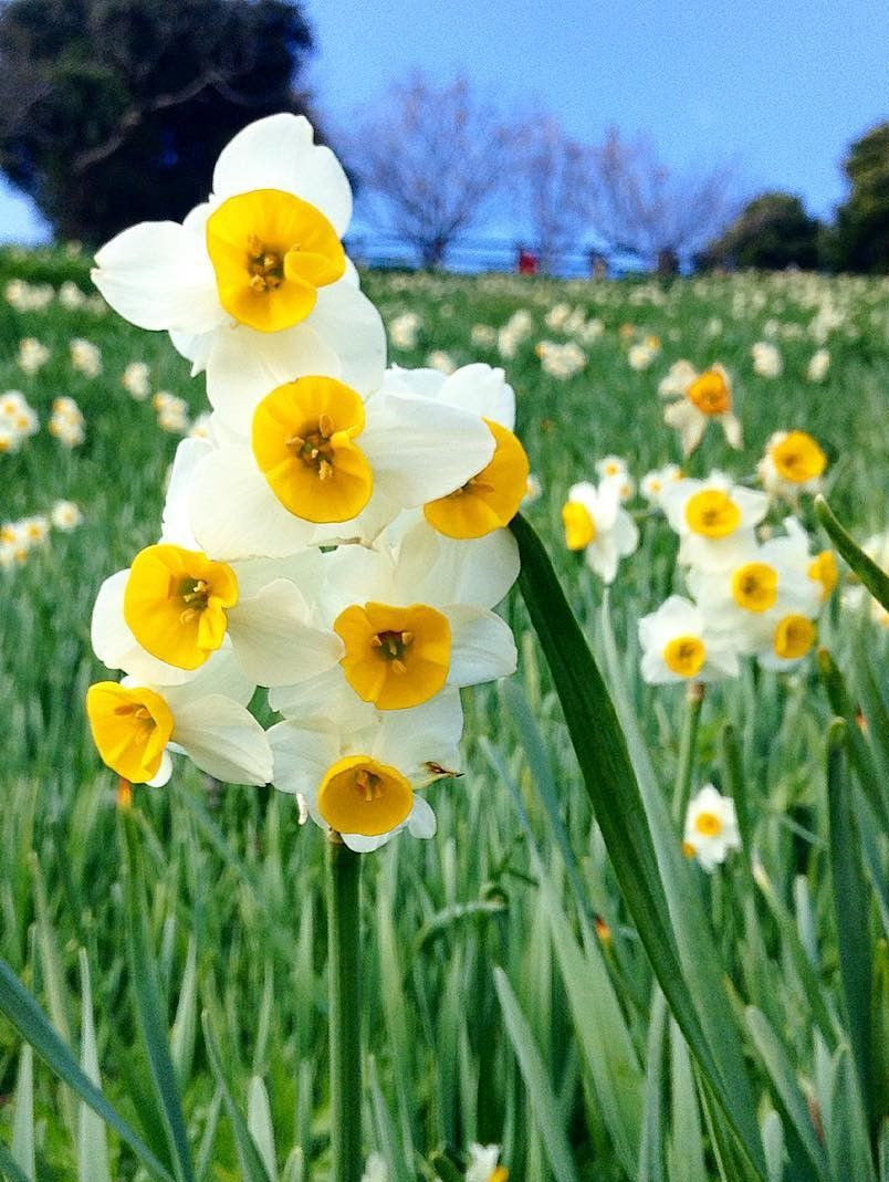Nada Kuroiwa Narcissus Field Hyogo Japan Flower Narcissus Daffodils Planting Flowers