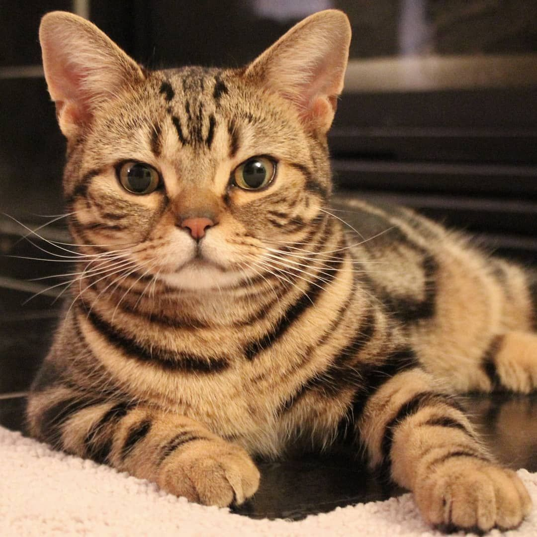 Morty The American Shorthair On Instagram So Are You Going To Play With Me Or Are You Just Going To Stare At American Shorthair American Shorthair Cat Cats