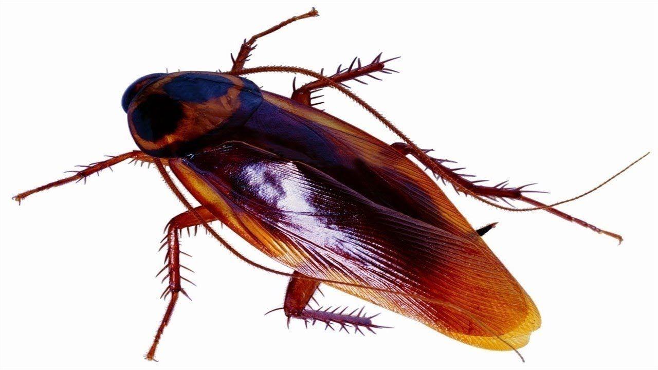 Como Acabar Con La Plaga De Cucarachas Chiquitas Como Eliminar Cucarachas Rapido Sin Insecticidas Y Con 1 Solo